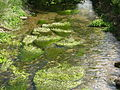Weeds in the River Lambourn, Lambourn, Berkshire.jpg