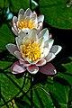 Weiße Seerose IMG 5489.jpg