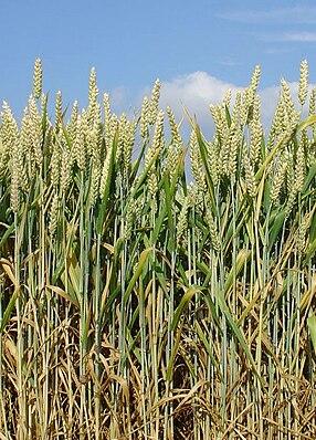 Weizenfeld mit unbegranntem Weizen (Triticum aestivum)