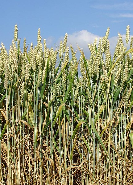Weizen – Wikipedia