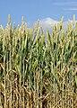 Weizenähren.jpg