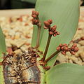 Welwitschia mirabilis-IMG 4462.jpg