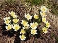 Western Anemone Anemone occidentalis.jpg
