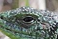 Western Green Lizard - Lacerta bilineata (16388541483).jpg