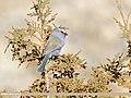 White-browed Tit Warbler (Leptopoecile sophiae) (39399434044).jpg