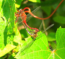 White-faced Meadowhawks in wheel position, Shirleys Bay.jpg