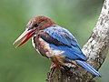 White-throated Kingfisher (Halcyon smyrnensis perpulchra) (8711016374).jpg