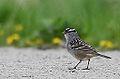 White Crowned Sparrow (8711812589).jpg