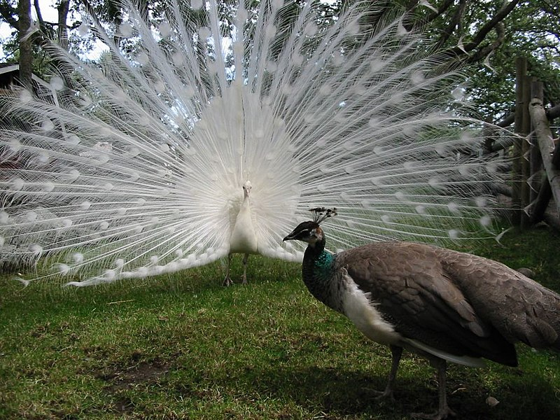 A white peacock's gaudy display overshadows a peahen. Image courtesy Darkros via Wikimedia Commons.