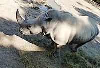 White Rhinoceros (Ceratotherium simum) in Tbilisi Zoo.JPG