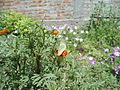 White butterfly in marigold.JPG