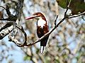 White throated Kingfisher - Mudumalai.jpg