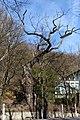 Wien-Penzing - Hütteldorf - Naturdenkmal 52 - Stieleiche (Quercus robur) I.jpg