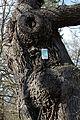 Wien-Penzing - Hütteldorf - Naturdenkmal 52 - Stieleiche (Quercus robur) II.jpg