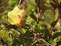 Wild Cotton - Flickr - treegrow (4).jpg
