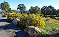 Wild Flowers, Desert View, Grand Canyon 9-15 (21270624204).jpg