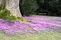 Wild cyclamen in the grounds of Killerton Chapel - geograph.org.uk - 1744928.jpg