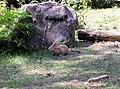 Wild rabbit Oryctolagus cuniculus in Casentino, Italy.jpg