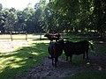 Wildpark Frankfurt Oder Heck cattle.jpg