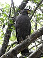 WilpattuNationalPark - February 2018 - Crested serpent eagle (3).jpg