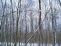 Winter Old Hard Wood Bush - panoramio.jpg