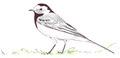 Witte kwikstaart Motacilla alba Jos Zwarts 3.tif
