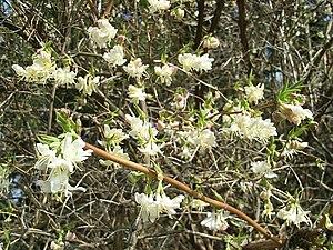 Winter-Heckenkirsche (Lonicera fragrantissima)