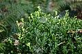 Wojsławice, arboretum, Buxus microphylla II.jpg