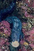 Wolf eel eating a sea urchin