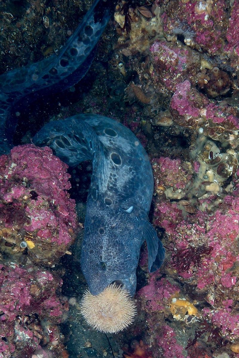 Wolf eel eating a sea urchin.jpg