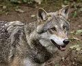 Wolf je1-4.jpg