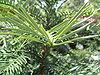 Wollemia nobilis leaves
