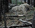 Wolves 1 (7177922660).jpg