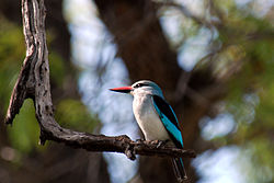 Woodland Kingfisher 2072412931.jpg