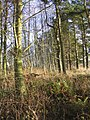 Woodland strip - geograph.org.uk - 288901.jpg