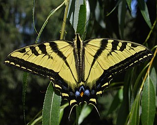 <i>Papilio rutulus</i> species of insect