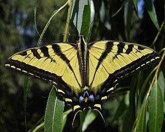Papilio rutulus - Image: Wtigerswallowtail