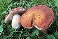 Xanthoconium purpureum Snell & E.A. Dick 532513.jpg