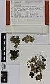Xanthoparmelia australasica D.J.Galloway (AM AK221695).jpg