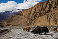 Yaks in the Panda Khola Gorge.jpg