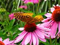 Yellow-Butterfly-Purple-Flower - West Virginia - ForestWander.jpg