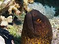 Yellow-edged moray from the Red Sea.JPG