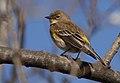 Yellow-rumpedWarbler-Audubons-13DEC2017.jpg