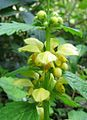 Yellow Archangel 01.jpg