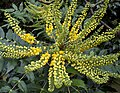 Yellow Mahonia 2 (4120142136).jpg