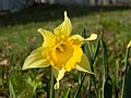 Yellow Narcissus flower - panoramio.jpg