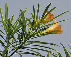 Yellow Oleander (Thevetia peruviana) leaves & flowers in Kolkata W IMG 8007.jpg