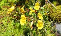 Yellow monkeyflower - Flickr - brewbooks.jpg