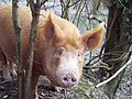 You looking at me, Tamworth Pig near Tidpit - geograph.org.uk - 370397.jpg