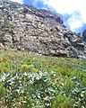 Young Waboom trees on Table Mountain - Protea nitida 4.JPG
